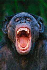 laughingchimp